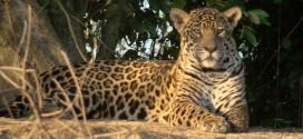 Banco de Bosques y Ferrero suman sus rugidos para preservar el yaguareté